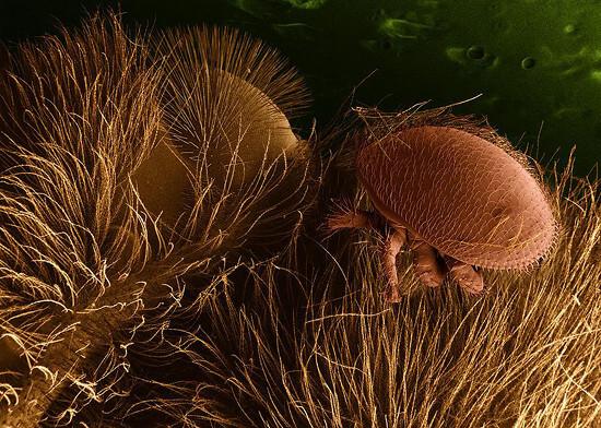 Varroa destructor πάνω σε μέλισσα